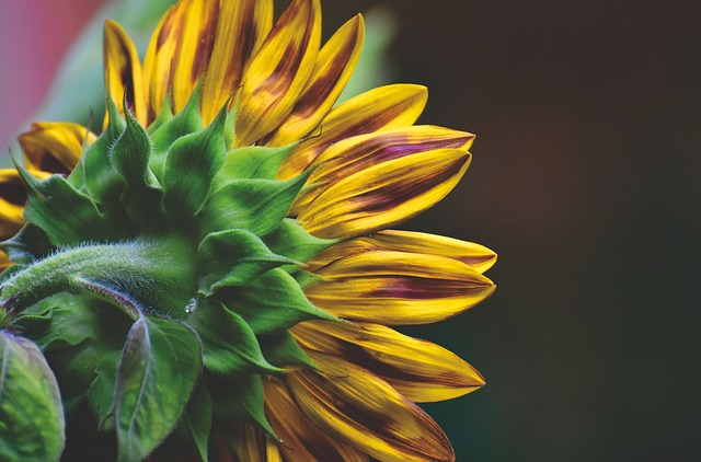 BASF to Offer Hybrid Sunflower Seeds in Europe   Powder/Bulk Solids