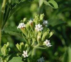 Tate & Lyle entered into a partnership and distribution agreement with a US producer of stevia sweeteners. Image courtesy Flickr user faroutflora