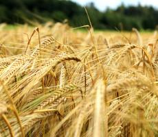 Proximity Malt will process barley and other grains into malt products for the brewing industry. Image courtesy of Flickr user manoftaste-de