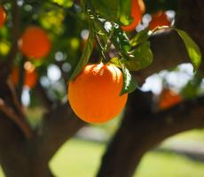 ADM is acquiring Florida Chemical Company, a maker of citrus-based oils and food ingredients. Image courtesy of Pixabay