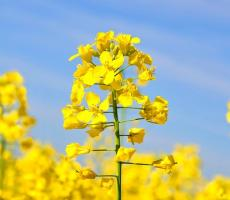 Avril and DSM will produce plant-based protein from Canola, pictured here. Image courtesy of Pixabay